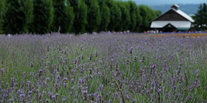Hụt hẫng về cánh đồng hoa lavender Furano – Hokkaido Nhật Bản