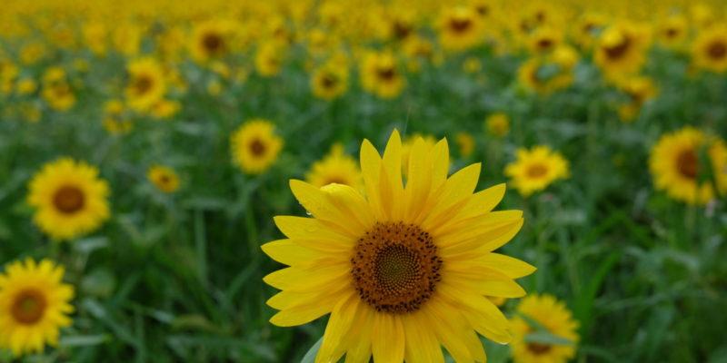 Nhắm mắt thấy mùa hè trong thiên đường hoa hướng dương Hokuryu